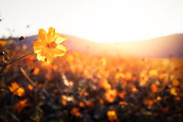 golden flowers on a field