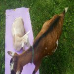 goats on yoga mat