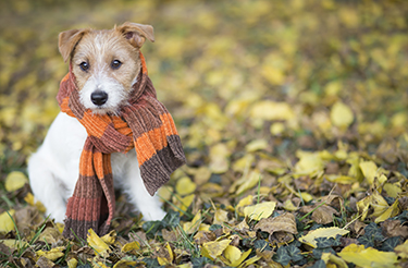puppy wearing a scarf and sitting in fall leaves
